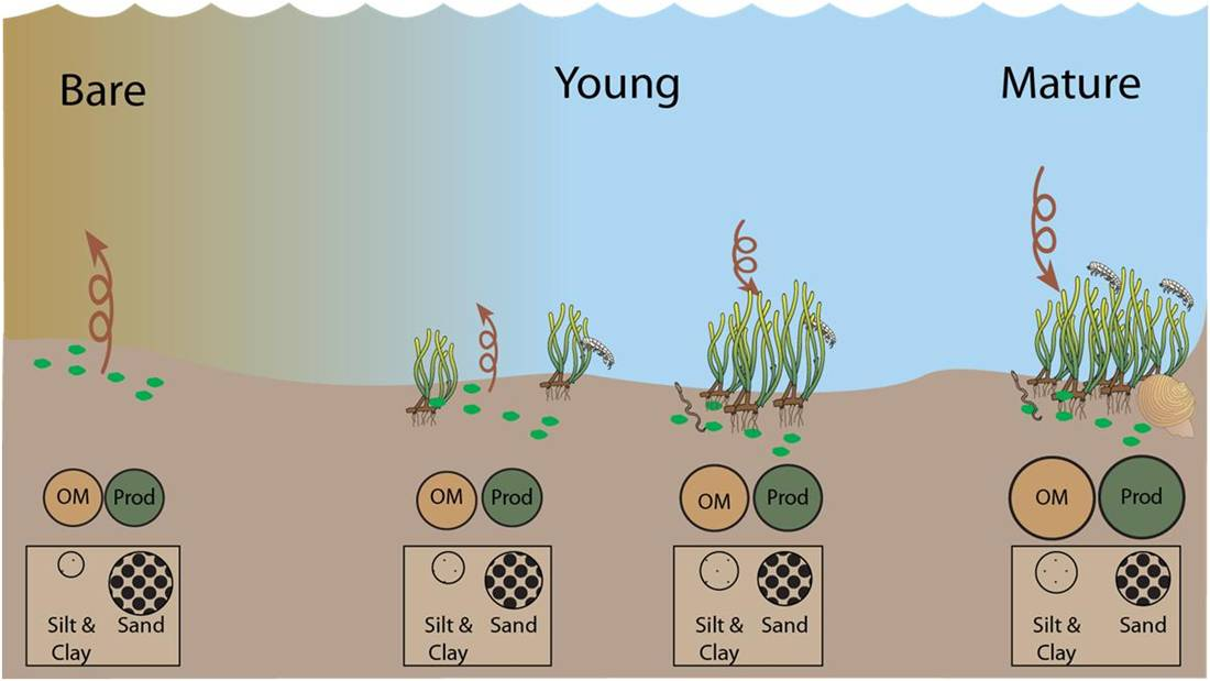 Conceptual model of the effects of seagrass restoration on lagoonal ecosystems