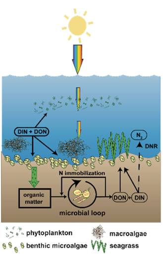 Seagrasses' Role in the Nitrogen Cycle